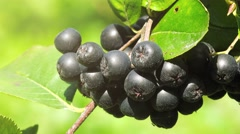 Fruitful ripe aronia berry fruit on the branch Stock Footage