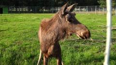 Brown moose. 4K. - stock footage