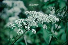 Cow Parsley Anthriscus sylvestris - white summer field flower Stock Photos