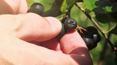 Hand picking ripe aronia berry fruit from the branch Stock Footage