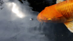 Ornamental Koi fishes swim in the shade of pond Stock Footage