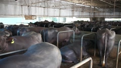 Buffalo Dairy farm Stock Footage