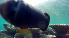 Orange-lined triggerfish attacks :) Stock Footage