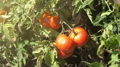 Homegrown organic tomato growing in vegetable garden Stock Footage