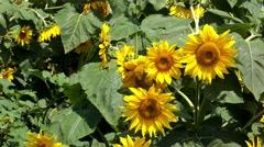 Blooming sunflower crop field Stock Footage