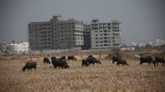 Buffalo's in the Fields Stock Footage