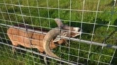 European mouflon. Horn stuck in the lattice. 4K. Stock Footage