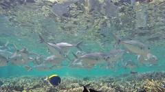 Bigeye trevally maldives Stock Footage