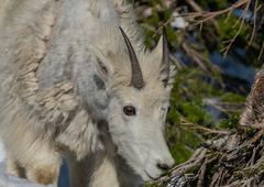 Young Mountain Goat Eyes Pine Branch for Snack Kuvituskuvat