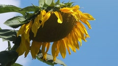 Blooming sunflower head in cultivated crop field Stock Footage