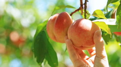 Picking Peach fruit. Stock Footage