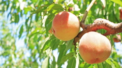 Farmer harvests peaches. Stock Footage