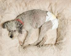 Old grey dog wearing a doggy diaper Stock Photos