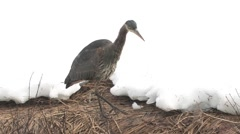 Great Blue Heron stalking fish along stream with white snow background Stock Footage