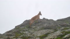 Wild goat staying on top of high mountain rocks and looking to camera. Kavkaz Stock Footage