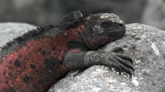 Close up of a red colored marine iguana at isla espanola in the galapagos Stock Footage