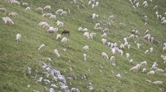 Flock of sheep with black sheep grazing in a mountain meadow Stock Footage