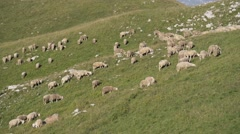Flock of sheep grazing in a mountain meadow Stock Footage