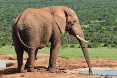 Elephant drinking water at Harpoor Dam Stock Photos