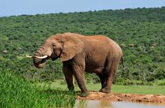 Elephant drinking water at Harpoor Dam, Addo National PARK, South Africa - stock photo