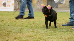 Man walking black pug on leash, cute dog in funny accessories looking around Stock Footage