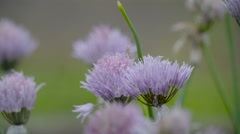 The purple flower of the onion plant - stock footage