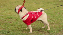 Active pug in Christmas accessories barking, owner walking dog on lead in park Stock Footage