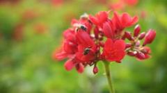 Honey Bee on Spicy jatropha flower Stock Footage