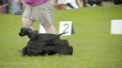 Another black hairy Cocker Spaniel running Stock Footage