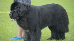 A big Newfoundland dog standing on the field Stock Footage