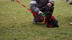 Little boy playing with cute black pug, man training puppy to walk on leash Stock Footage
