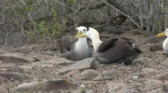 Seated waved albatross tap beaks to bond on isla espanola in the galapagos Stock Footage