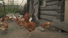 Flock of chickens Village Stock Footage