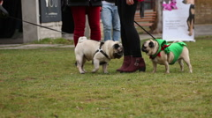 Pugs sniffing each other to get acquainted, many people walking dogs outdoors Stock Footage