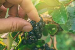 Hand picking ripe aronia berry fruit from the branch - stock photo