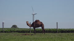 Camel Grazes On American Mid-West Farm As Wind Turbines Spin In Background Stock Footage