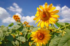 Blooming sunflower heads in cultivated crop field Stock Photos