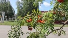 Ripening Rowan berries Stock Footage