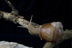 Roman snail an edible snail on a limestone - stock photo