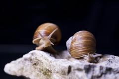 Roman snail an edible snail on a limestone Stock Photos