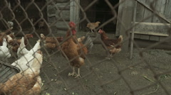 Flock of chickens Village Timelapse Stock Footage