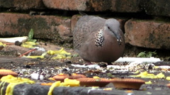 Dove at Temple Stock Footage