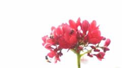 Honey Bee on Spicy jatropha flower (Jatropha integerrima) Stock Footage