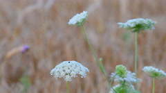 Cow Parsley, Anthriscus sylvestris during sunset in Sweden Stock Footage