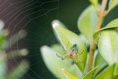 Cucumber orb web spider Stock Photos