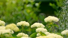 White flowers watered from a watering can Stock Footage