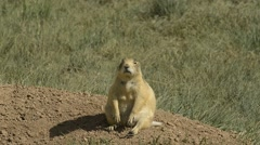 Utah Prairie Dog, endangered, territorial call Stock Footage