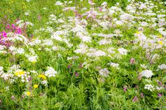Flowering meadow with Achillea and other flowers Stock Photos