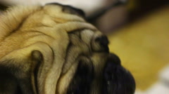 Closeup of unhappy pug tired of camera flashes at dog show, harsh animal abuse Stock Footage