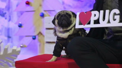 Man and dog posing to photographer with I love pug sign, enjoying club party Stock Footage